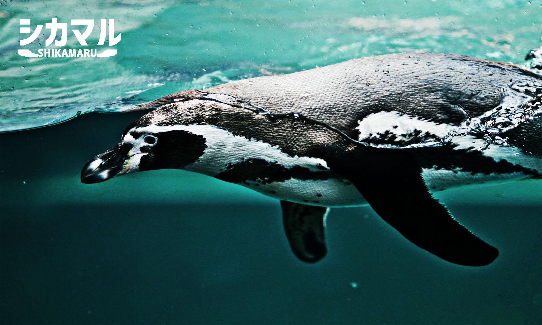 水面近くを泳ぐペンギン
