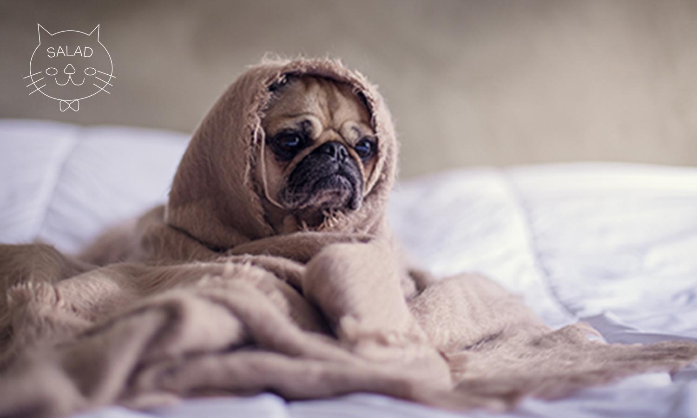 毛布を被ったパグ